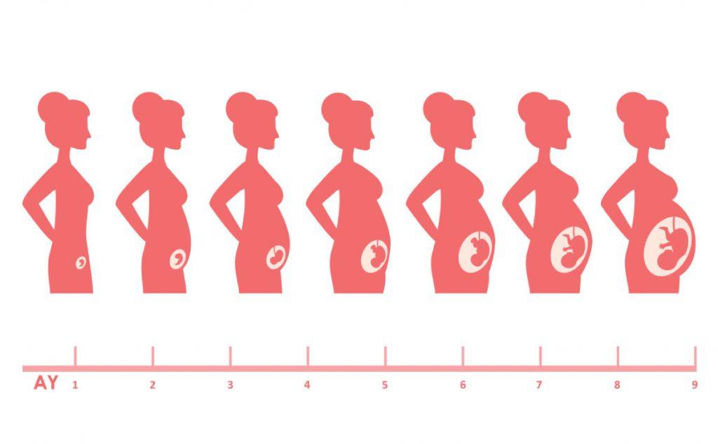 Anne Karnında Bebek Gelişimi: 2. Trimester